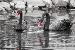 Due cigni neri nell'acqua Immagine in bianco e nero con colorazione selettiva - becchi rossi immagine stock