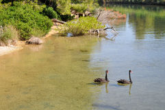 Due cigni neri sul lago fotografie stock libere da diritti