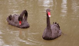 Due cigni neri sullo stagno Fotografia Stock