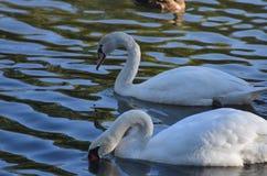 Due cigni selvaggi in un lago che cerca alimento, uccelli bianchi graziosi nell'acqua in un parco fotografia stock libera da diritti