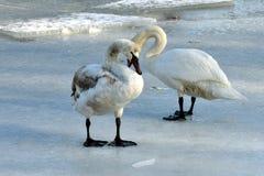 Due cigni su ghiaccio Fotografia Stock