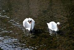 Due cigni su un fiume Fotografie Stock Libere da Diritti