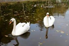 Due cigni su un lago Immagini Stock