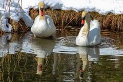 Due cigni su un lago nell'inverno Fotografia Stock Libera da Diritti