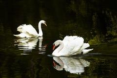 Due cigni sul lago fotografie stock libere da diritti