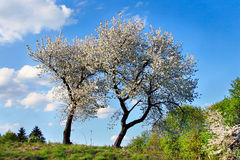 Due ciliegi di fioritura Fotografie Stock Libere da Diritti