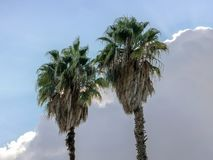Due cime delle palme contro un fondo del cielo nuvoloso immagini stock libere da diritti