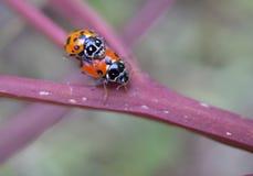 Due coccinelle di coccinellidae delle coccinelle Immagini Stock