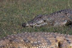 due coccodrilli Fotografia Stock Libera da Diritti
