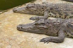 Due coccodrilli Fotografia Stock
