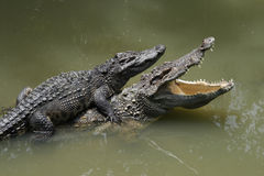 Due coccodrilli in un'azienda agricola, Tailandia Fotografia Stock Libera da Diritti