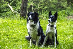 Due collies di bordo Immagini Stock