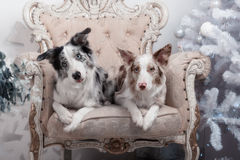 Due collies di bordo Immagine Stock