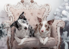 Due collies di bordo Fotografia Stock