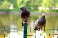 Due colombe Fotografia Stock Libera da Diritti