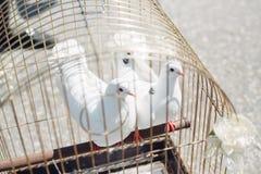 Due colombe bianche Fotografie Stock Libere da Diritti