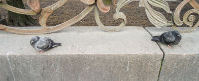 Due colombe di St Petersburg Fotografie Stock Libere da Diritti