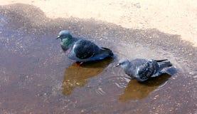 Due colombe grige vanno l'un l'altro sul marciapiede immagini stock
