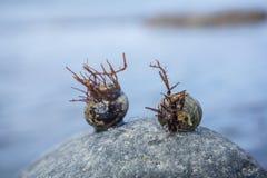 Due conchiglie su una roccia Le loro coperture sono coperte di alghe, così Fotografia Stock