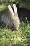 Due conigli Immagini Stock Libere da Diritti