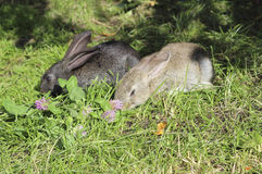 Due conigli Fotografie Stock Libere da Diritti