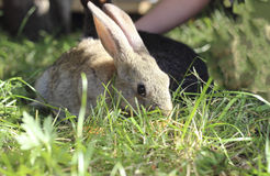 Due conigli Immagini Stock