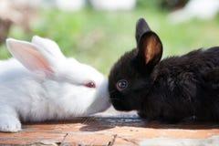 Due conigli bianchi neri lanuginosi Concetto del coniglietto di pasqua primo piano, profondità di campo bassa, fuoco selettivo fotografia stock