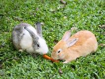 Due conigli che dividono una carota Fotografie Stock Libere da Diritti