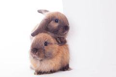 Due conigli con l'insegna bianca. Immagini Stock Libere da Diritti