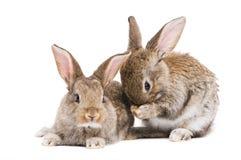 Due conigli del bambino isolati su bianco Fotografia Stock Libera da Diritti