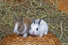 Due conigli del bambino sul canestro Fotografia Stock