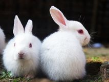 Due conigli messi sulla terra Immagini Stock Libere da Diritti