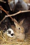 Due conigli su fieno Immagine Stock Libera da Diritti