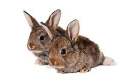Due coniglietti Fotografia Stock