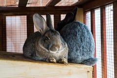 Due coniglietti svegli Immagine Stock Libera da Diritti