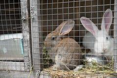 Due coniglietti tristi che guardano attraverso la struttura del nastro metallico della gabbia fotografie stock