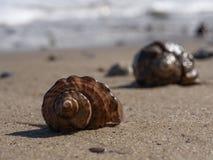 Due coperture vuote di rapana su una spiaggia sabbiosa fotografia stock libera da diritti