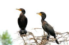 Due cormorani a doppia cresta in zona umida Immagine Stock Libera da Diritti