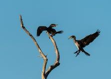 Due cormorani giovanili su un albero Fotografia Stock