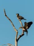 Due cormorani giovanili su un albero Immagine Stock