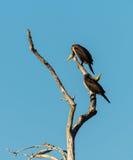 Due cormorani giovanili su un albero Fotografie Stock Libere da Diritti