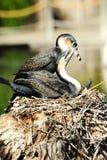 Due cormorants breasted bianchi fotografia stock libera da diritti