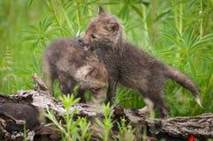 Due corredi di vulpes di vulpes di Fox rosso camminano circa sul ceppo Immagine Stock