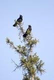 Due corvi fotografie stock libere da diritti