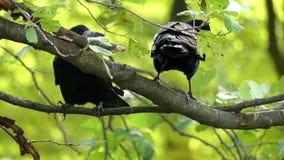 Due corvi si siedono su un ramo e puliscono i loro becchi nel slo-Mo video d archivio