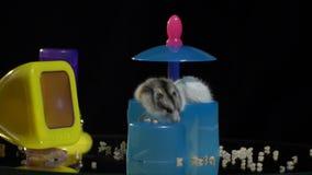 Due criceti lanuginosi scalano da una depressione di alimentazione di plastica stock footage