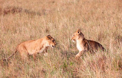 Due cubs di leone (panthera leo) in savanna Fotografie Stock Libere da Diritti