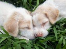 Due cuccioli Fotografie Stock Libere da Diritti