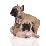 Due cuccioli adorabili del bulldog francese Fotografia Stock Libera da Diritti