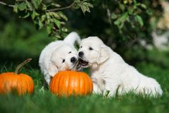 Due cuccioli adorabili di golden retriever che giocano con le zucche Immagine Stock Libera da Diritti